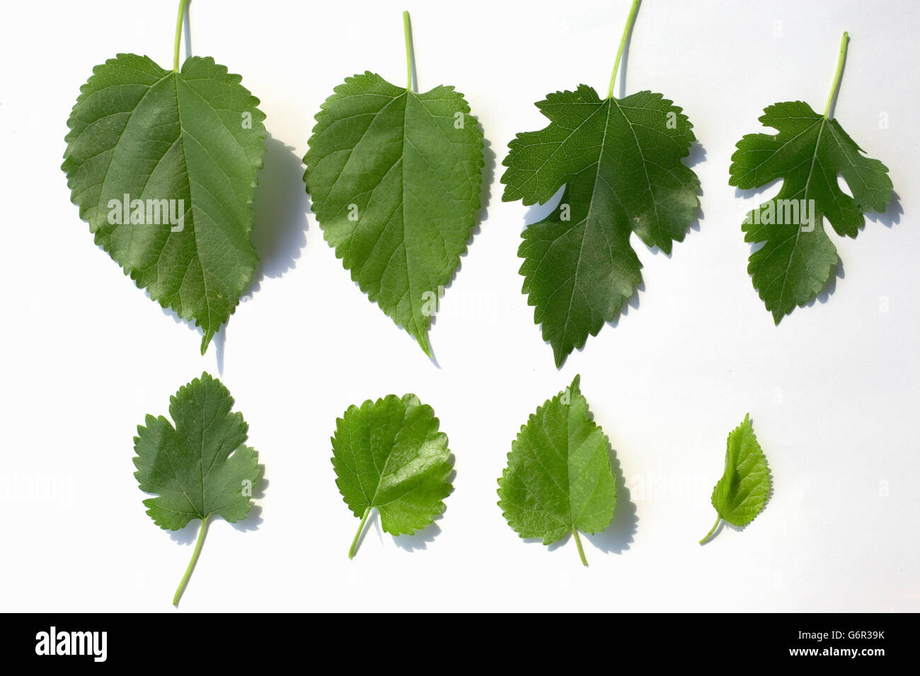 Picture Of A Mulberry Tree Leaf