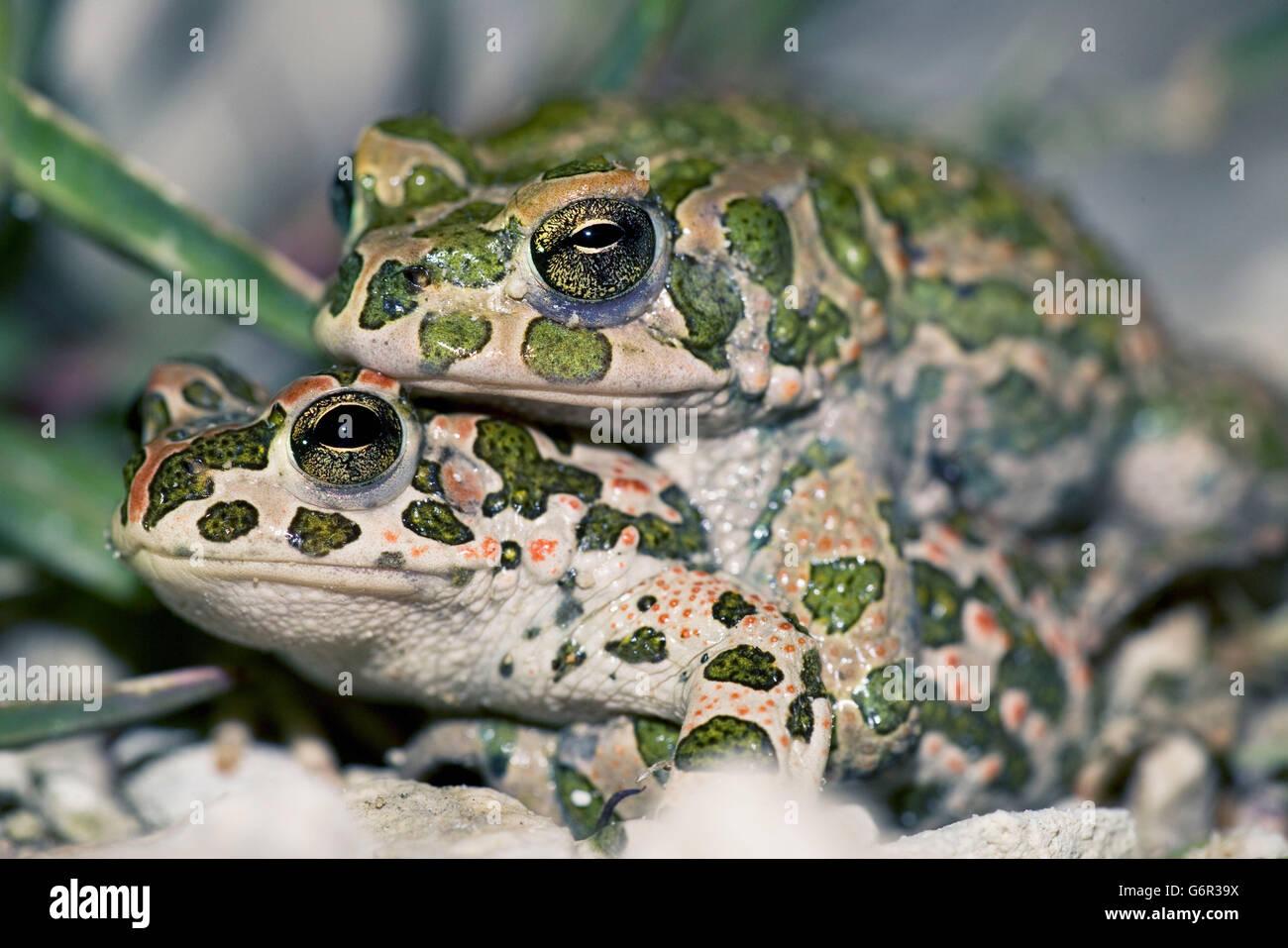 Green Toads, pair, mating, Bulgaria / (Bufo viridis) - Stock Image