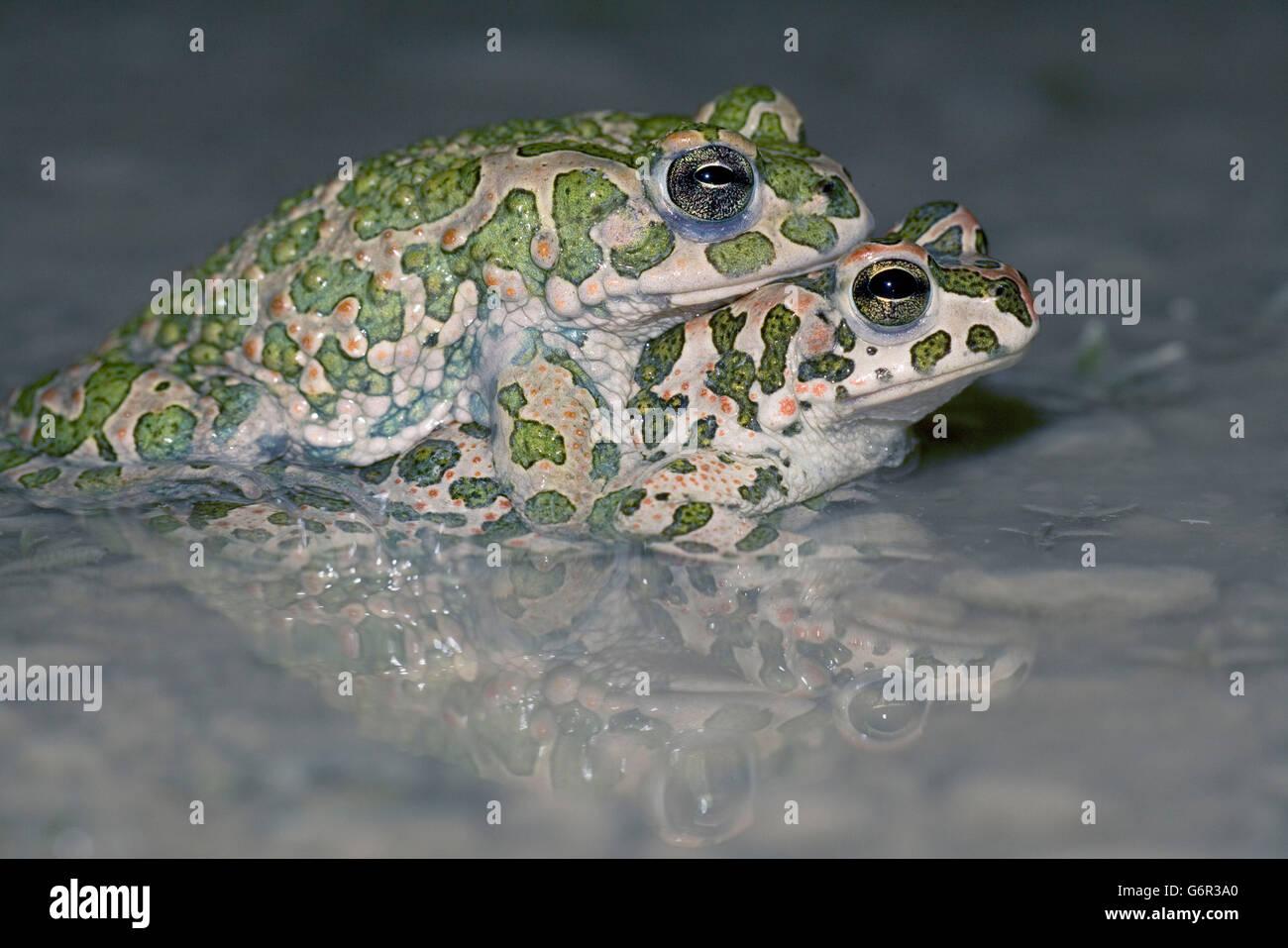 Green Toads, pair, mating, Bulgaria / (Bufo viridis) / side - Stock Image