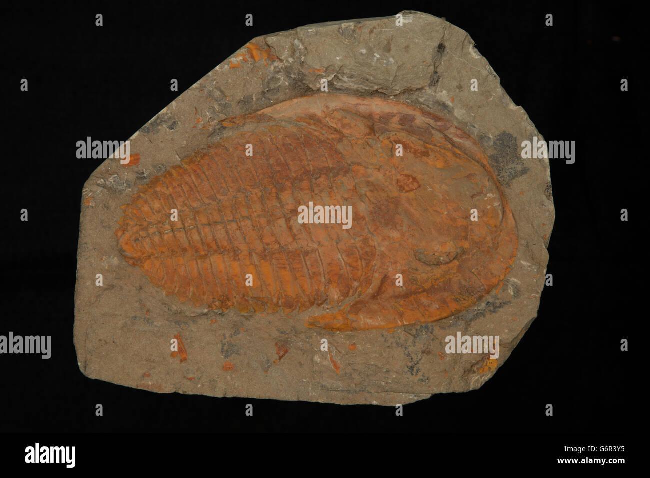 Trilobite fossil, Cambrian, Morrocco - Stock Image