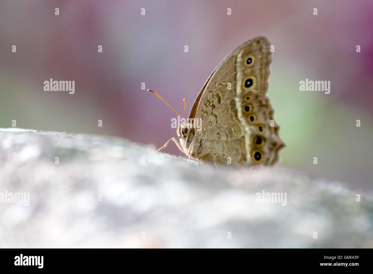 brush-footed butterflies perch on rock,Satyrinae - Stock Image