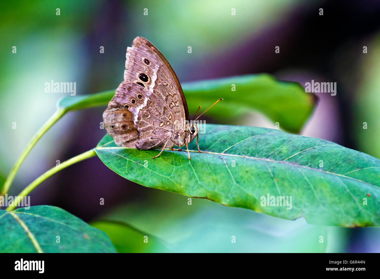 brush-footed butterflies perch on leaf,Satyrinae - Stock Image