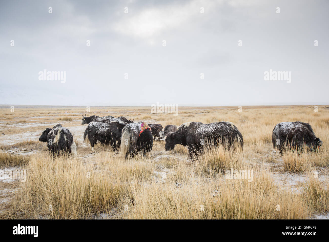 a nomadic woman is milking a cow in a cold morning in western mongolia - Stock Image