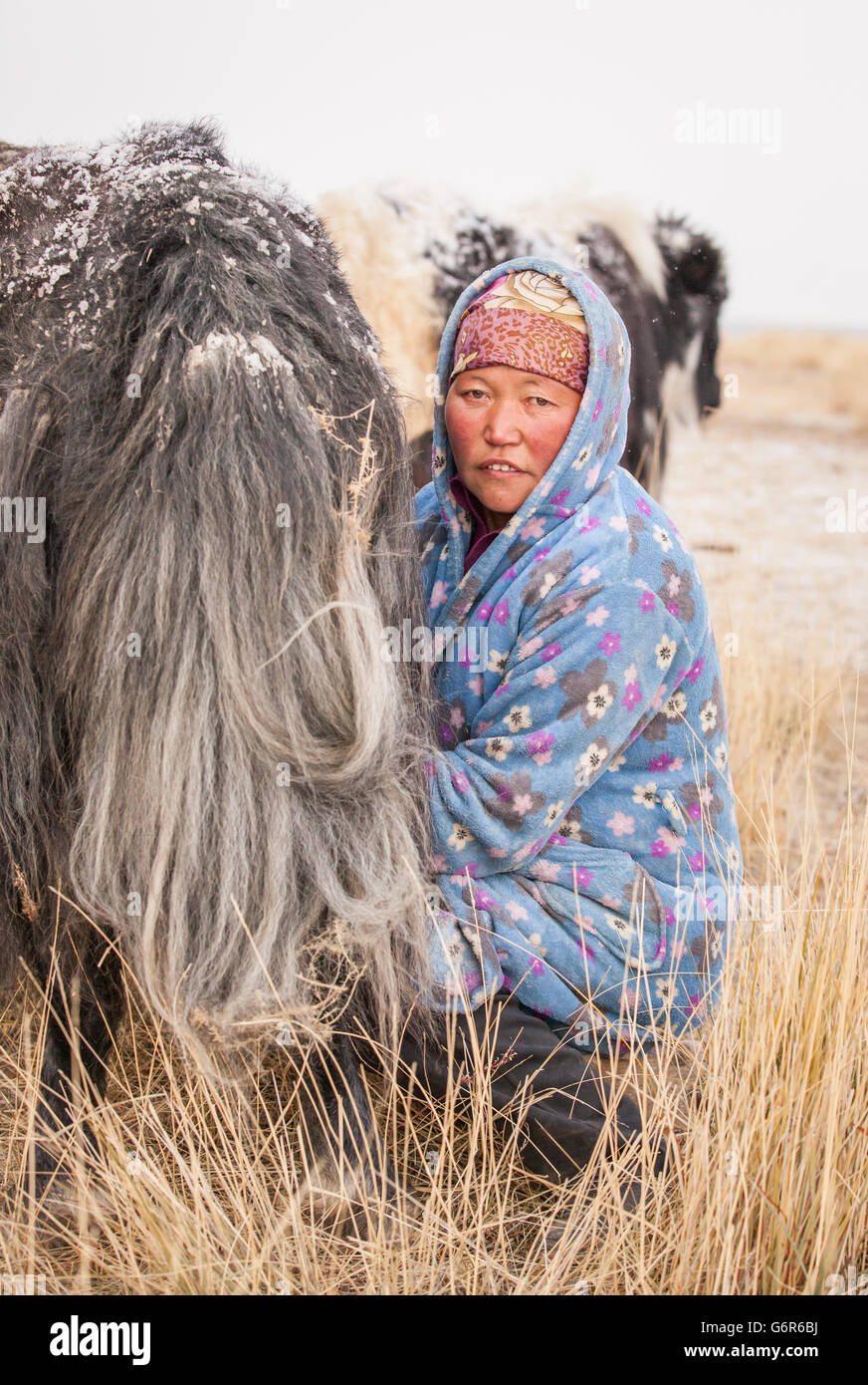 Nomadic woman milking a Yak - Stock Image