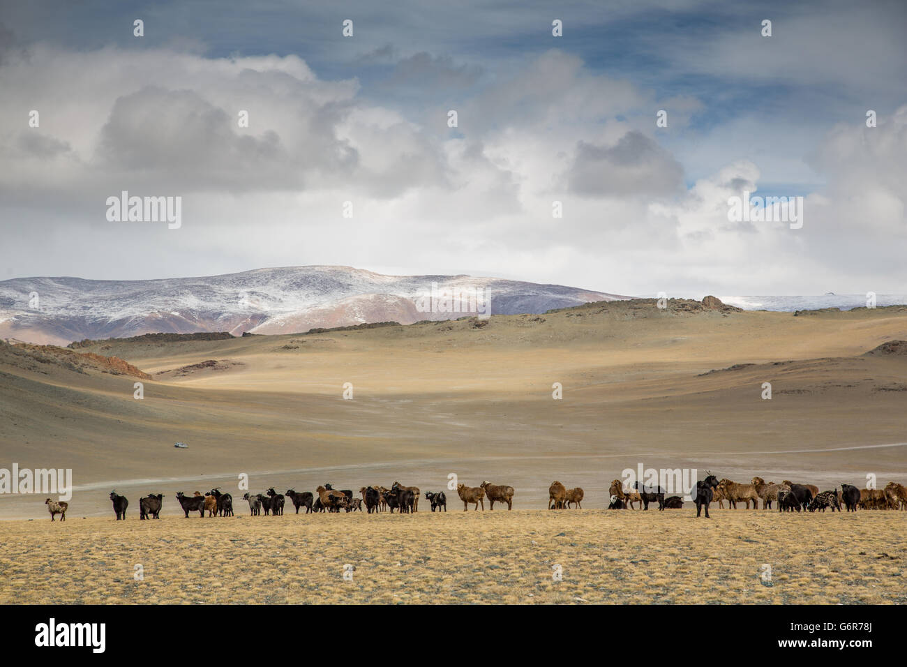 cows in the landscape of western Mongolia - Stock Image
