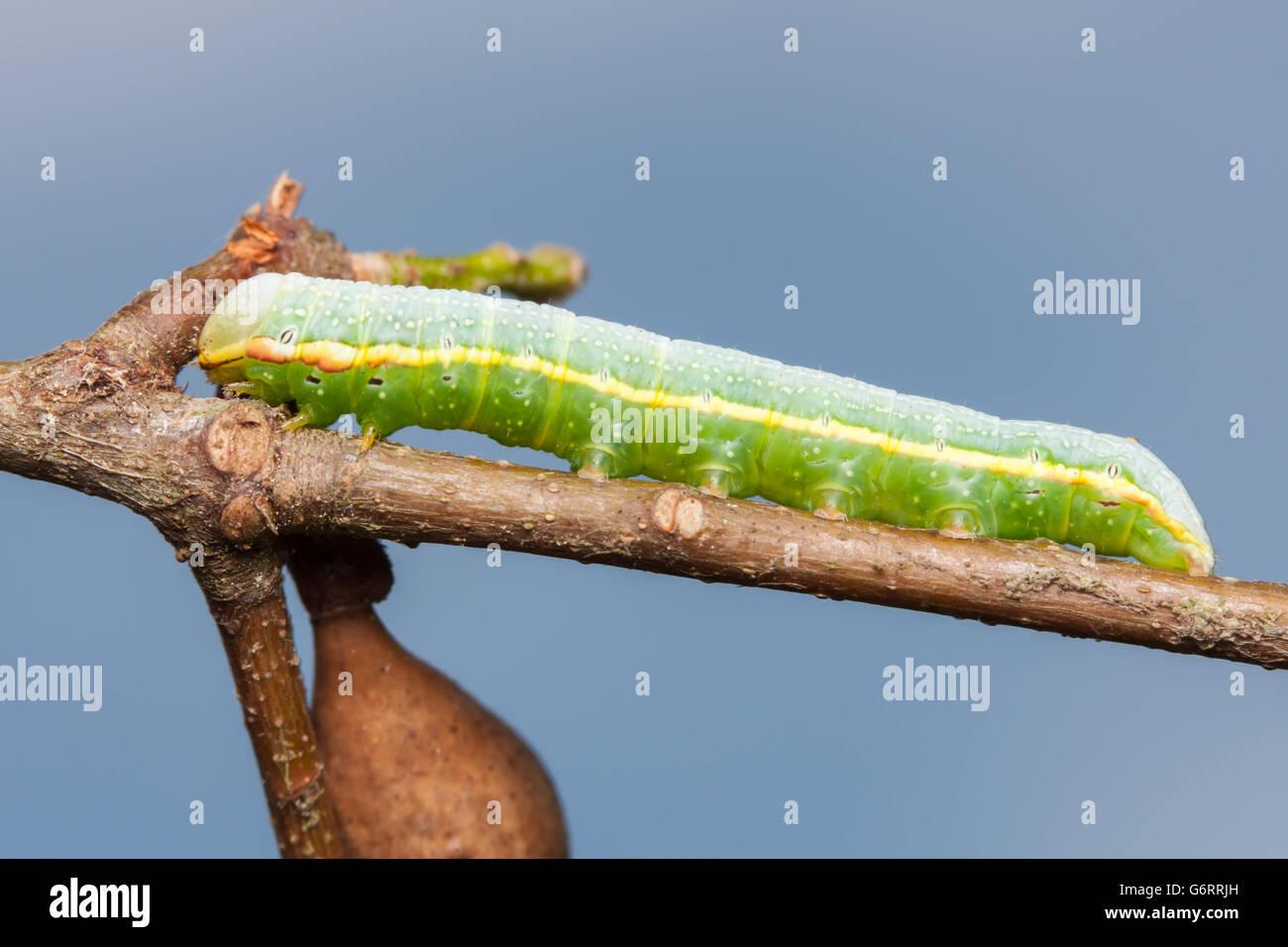 An Anglulose prominent (Peridea angulosa) caterpillar (larva) perches on an oak tree branch. - Stock Image