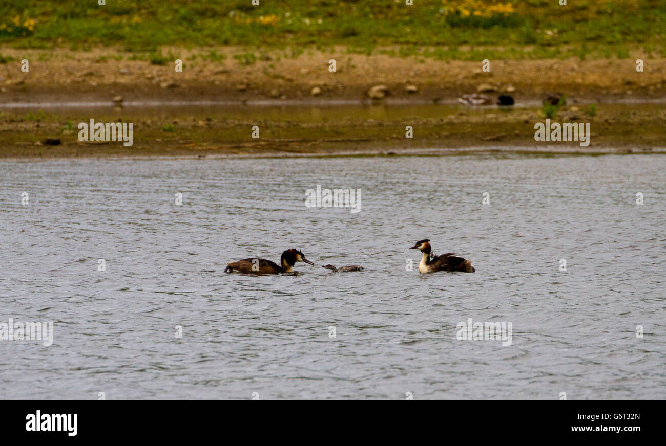 Great crested grebes and chicks - Stock Image