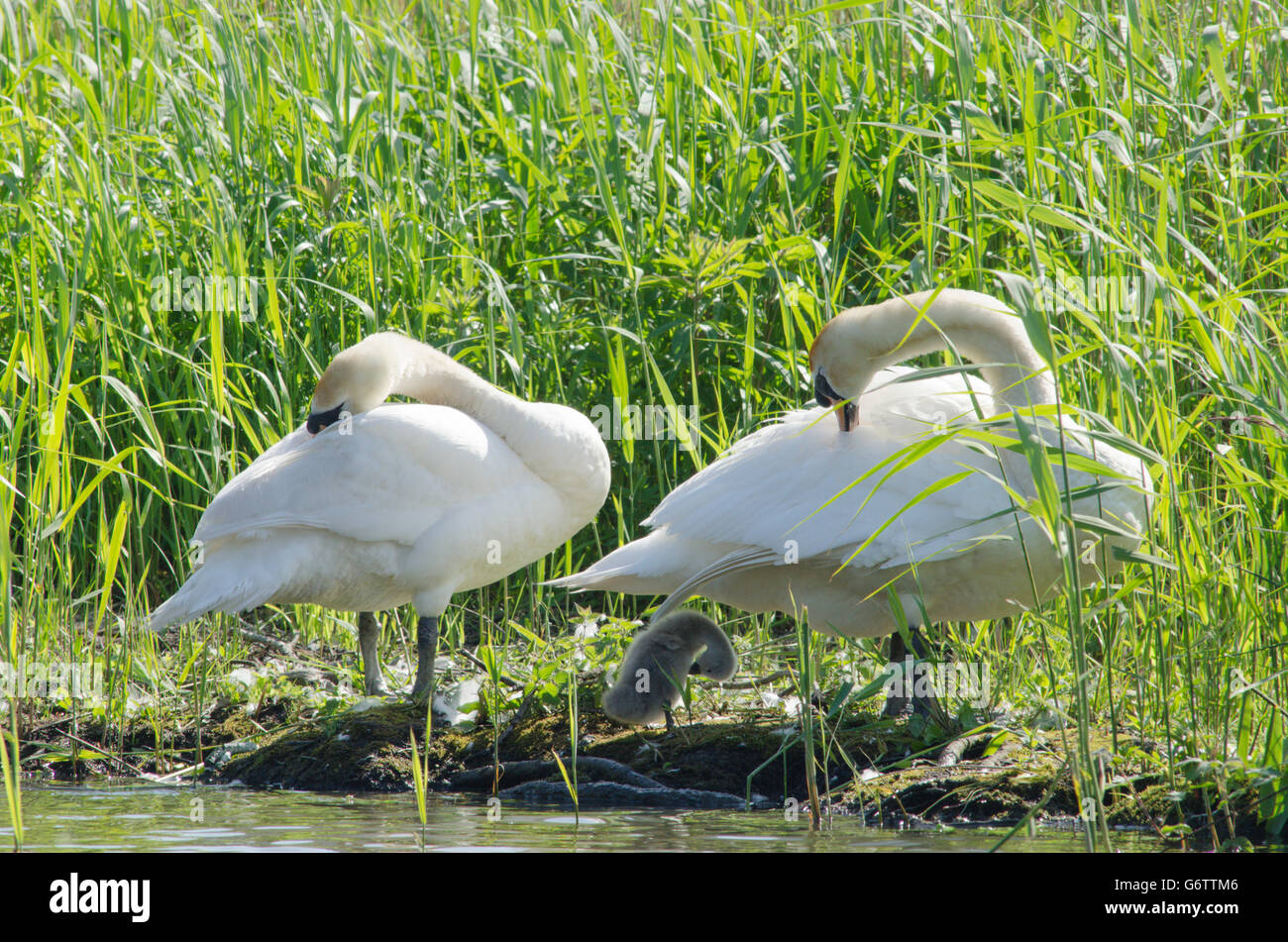 Family of Mute Swans [Cygnus olor] preening . Cygnet very young. River Ant, Norfolk Broads, UK. June. Stock Photo