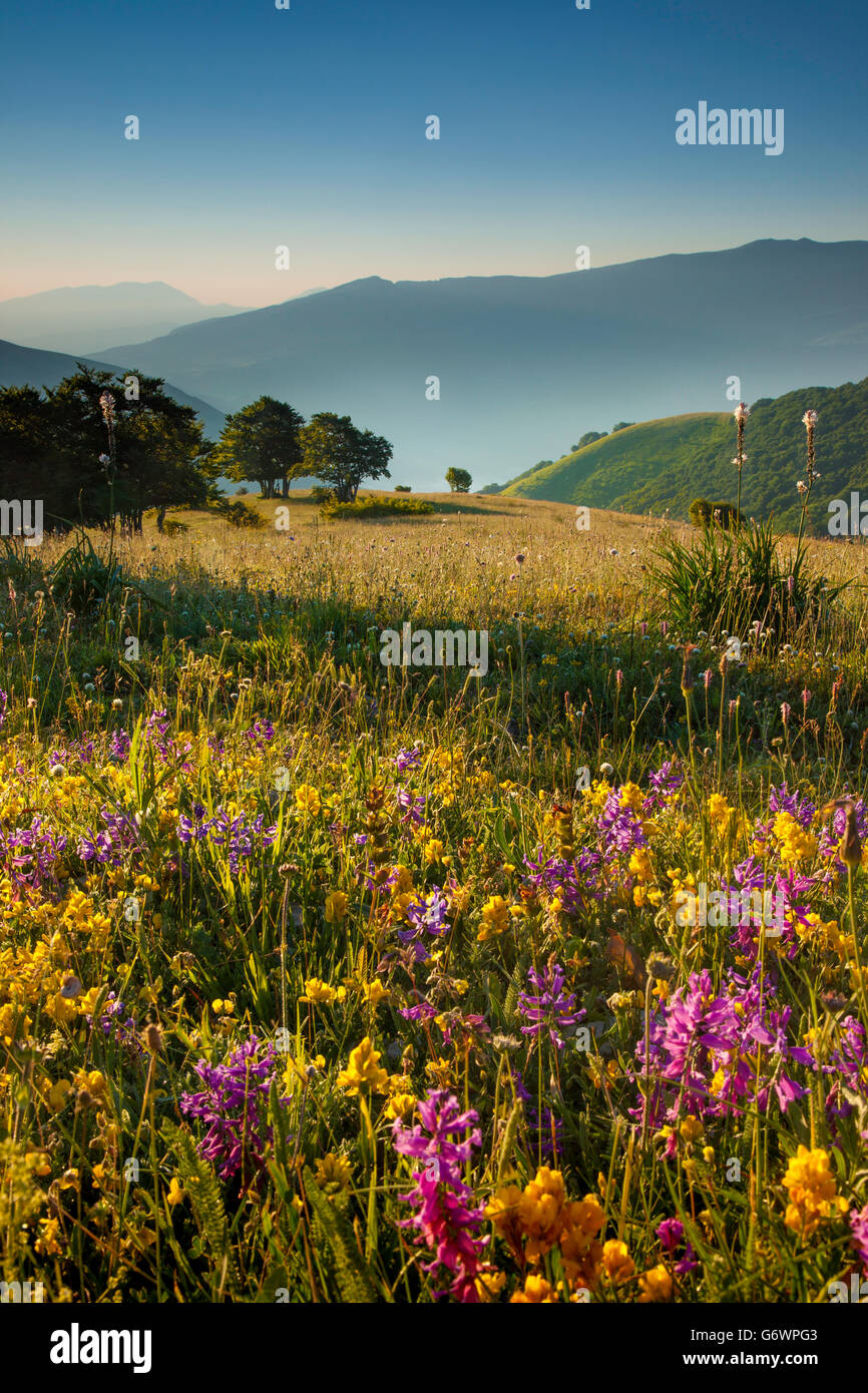 Wildflowers at dawn along the Forca Canapine in the Monti Sibillini National Park, Umbria Italy - Stock Image