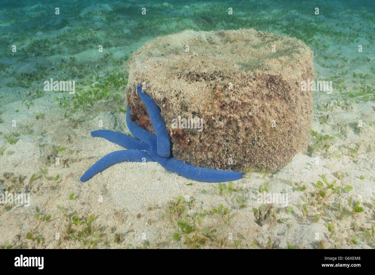 Blue sea star of Pacific ocean - Stock Image