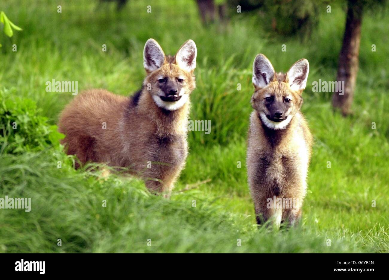 Pero and Zoro the maned wolves - Stock Image