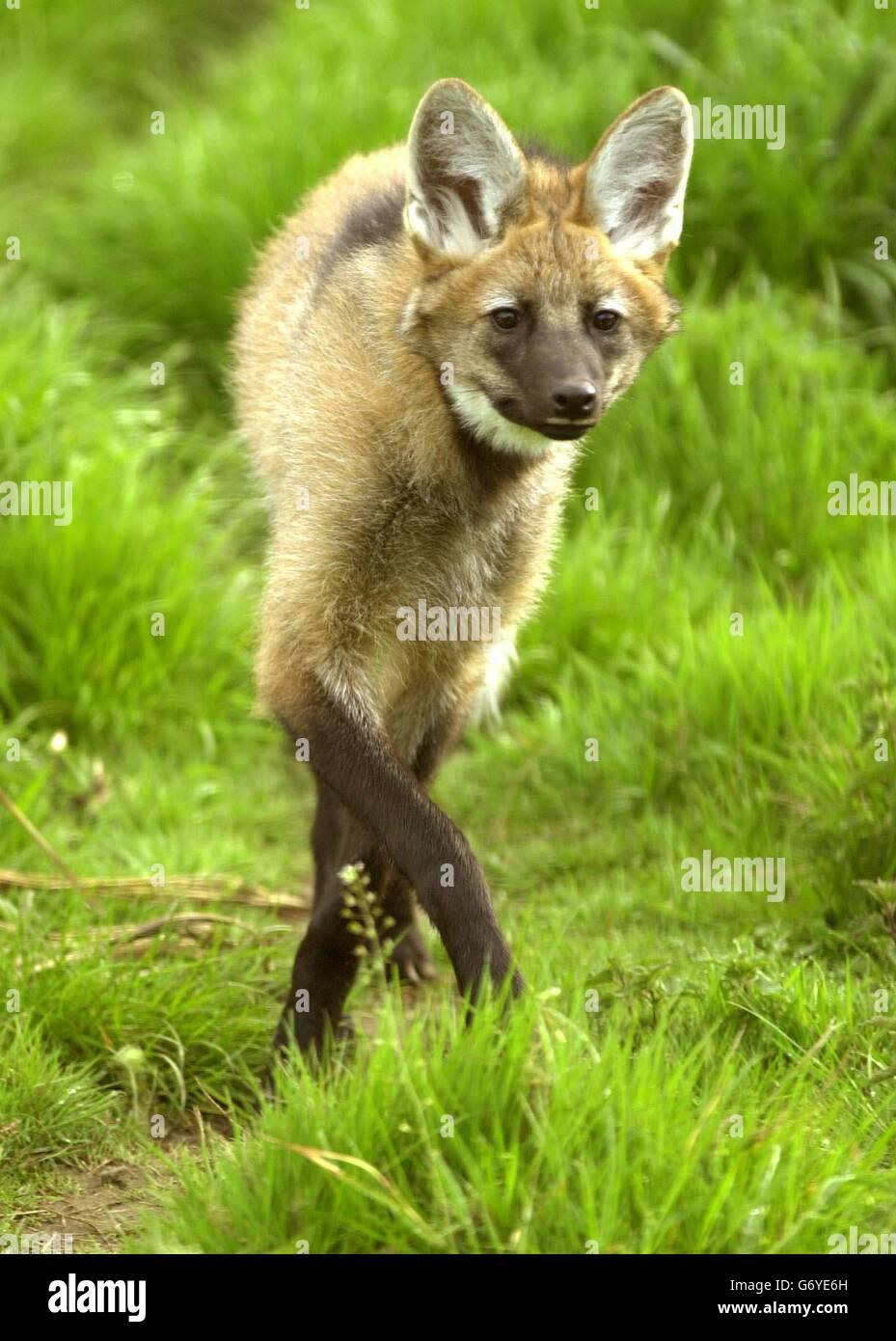 Zoro the maned wolf - Stock Image