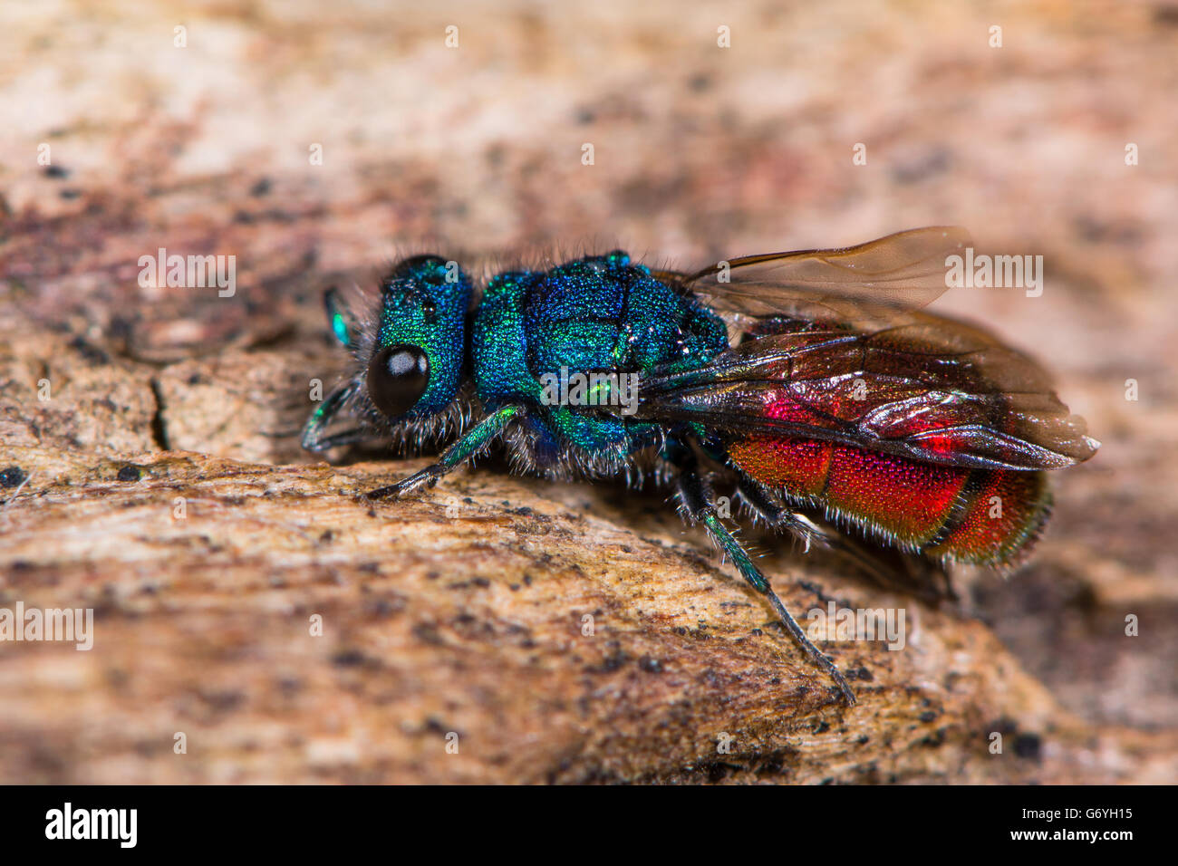 Ruby-tailed wasp (Chrysis sp.). Cuckoo wasp in family Chrysididae with bright metallic blue and red markings, aka - Stock Image