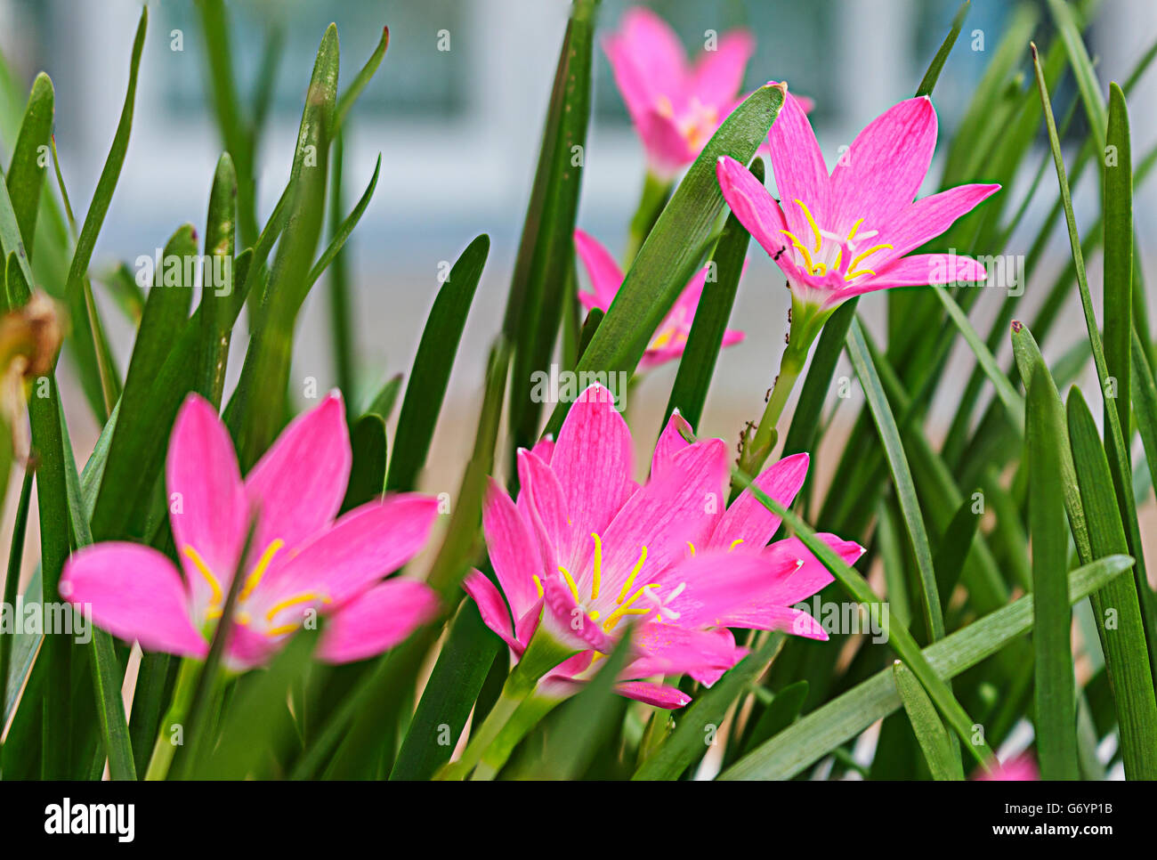 Purple Rain Lily Flower Songkhla Thailand Stock Photo 107560135 Alamy