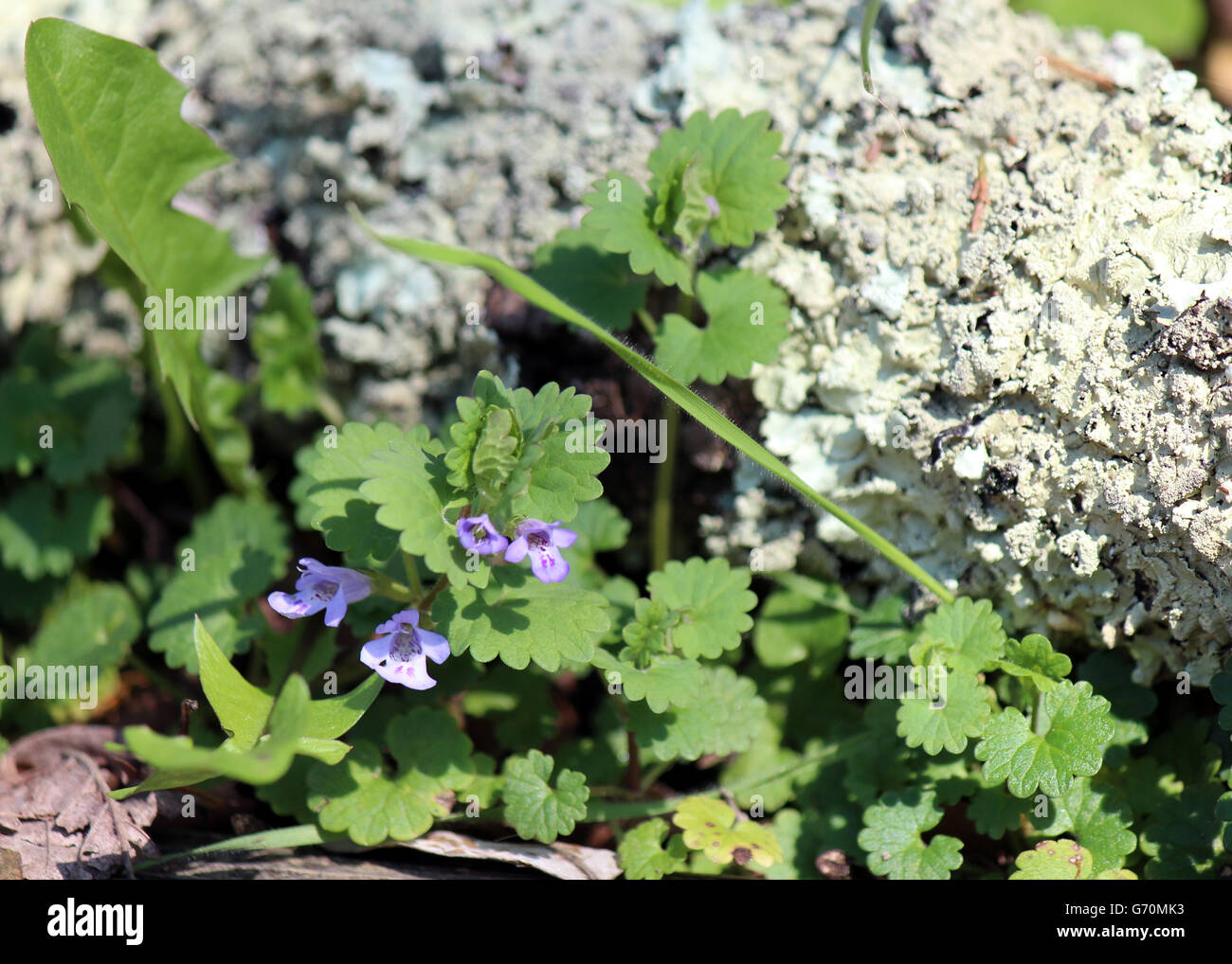 small purple orchid type flower by a lichen cover log Stock