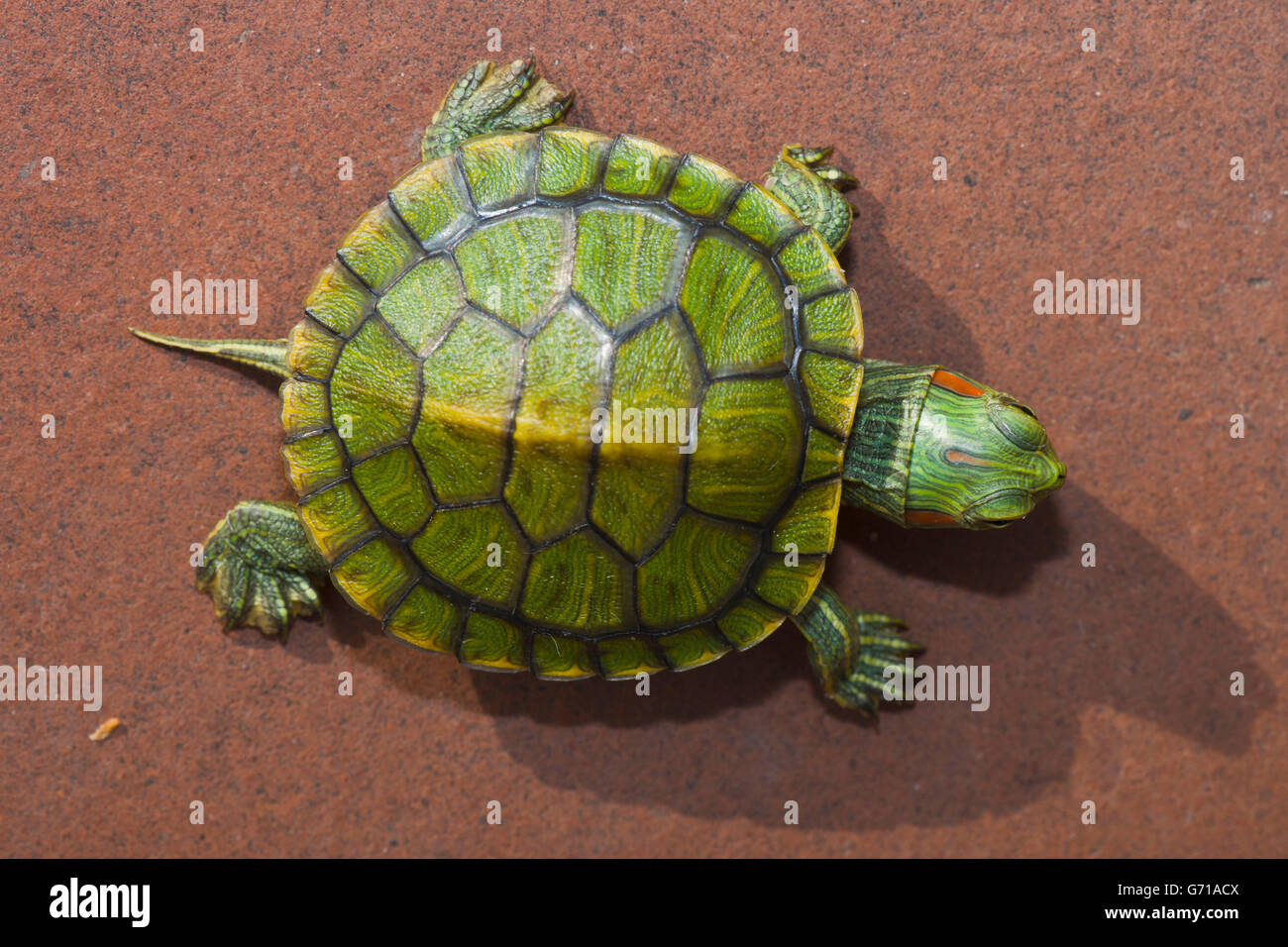 Red-eared Turtle, hatchling, 12 days, with egg tooth / (Trachemys scripta elegans, Pseudemys scripta elegans) / - Stock Image