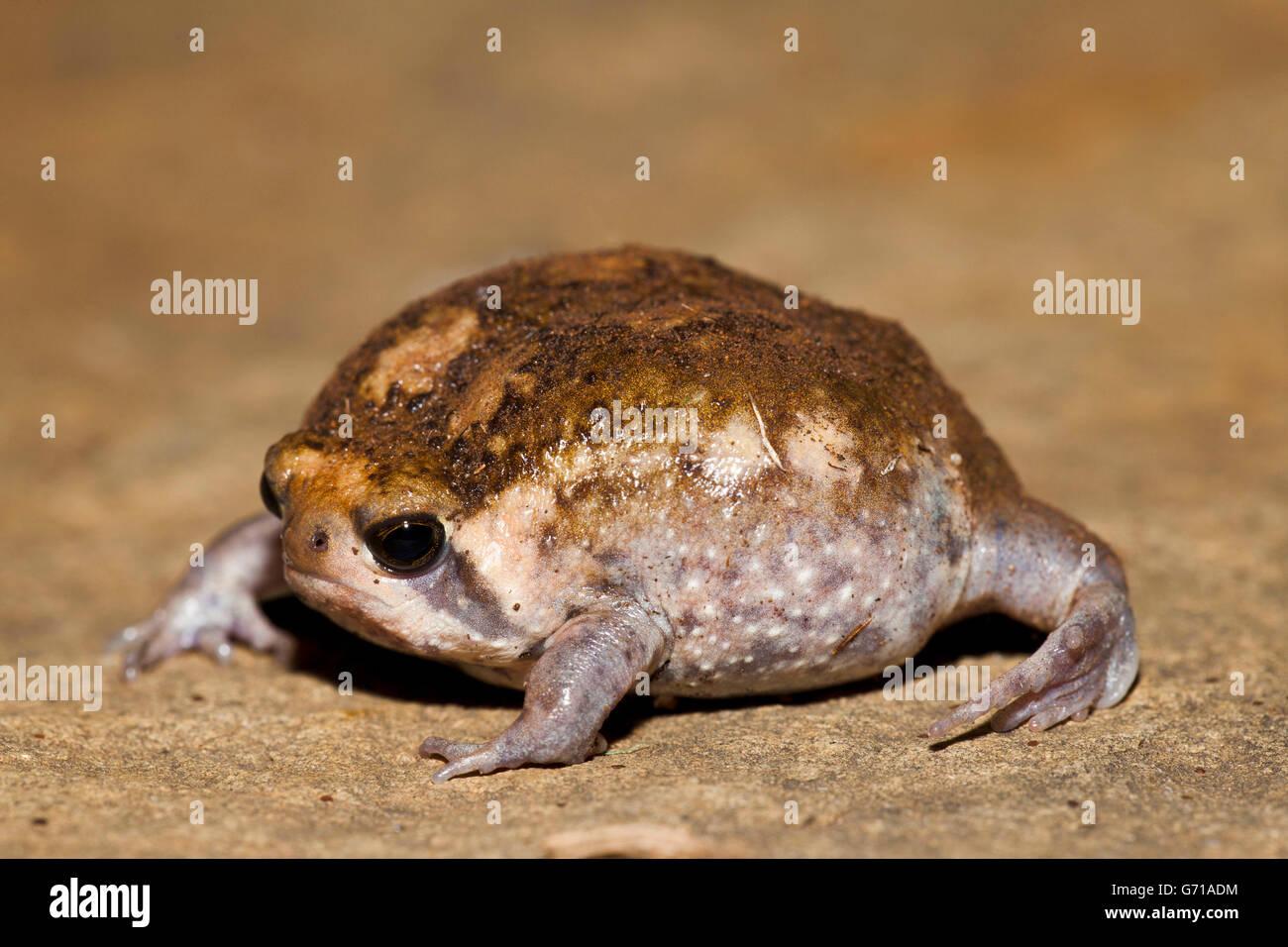 Bushveld Rainfrog, Hidden Valley, KwaZulu-Natal, South Africa / (Breviceps adspersus) - Stock Image