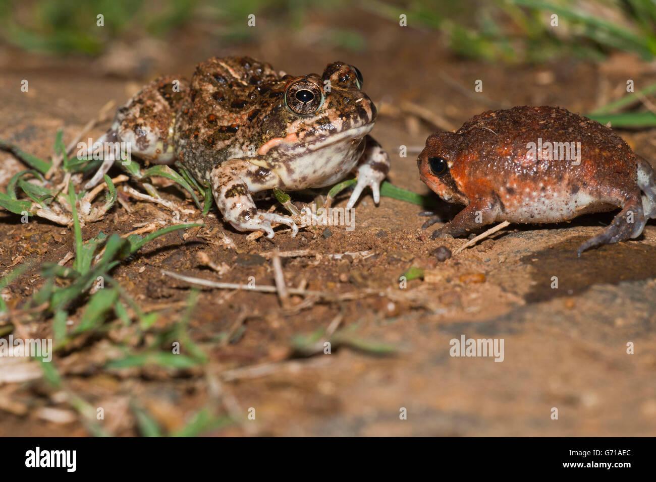 Tremolo Sand Frog, juvenile, and Bushveld Rain Frog, juvenile, blown up for defence, Hidden Valley, KwaZulu-Natal, - Stock Image