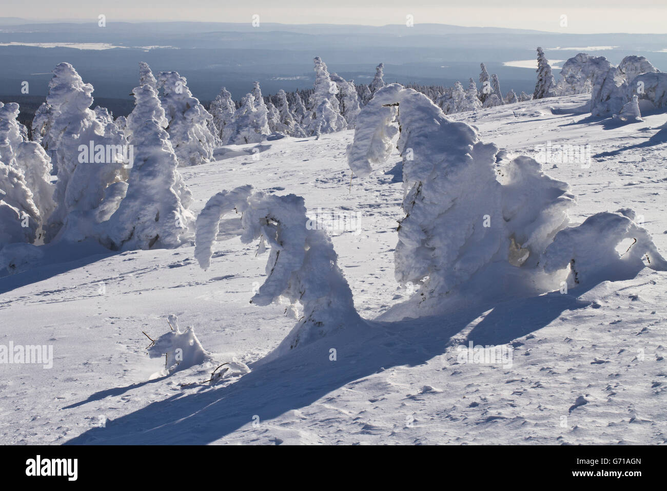 Snow-covered Spruce Trees, Brocken, National Park Hochharz, Harz, Saxony-Anhalt, Germany / (Picea abies) - Stock Image