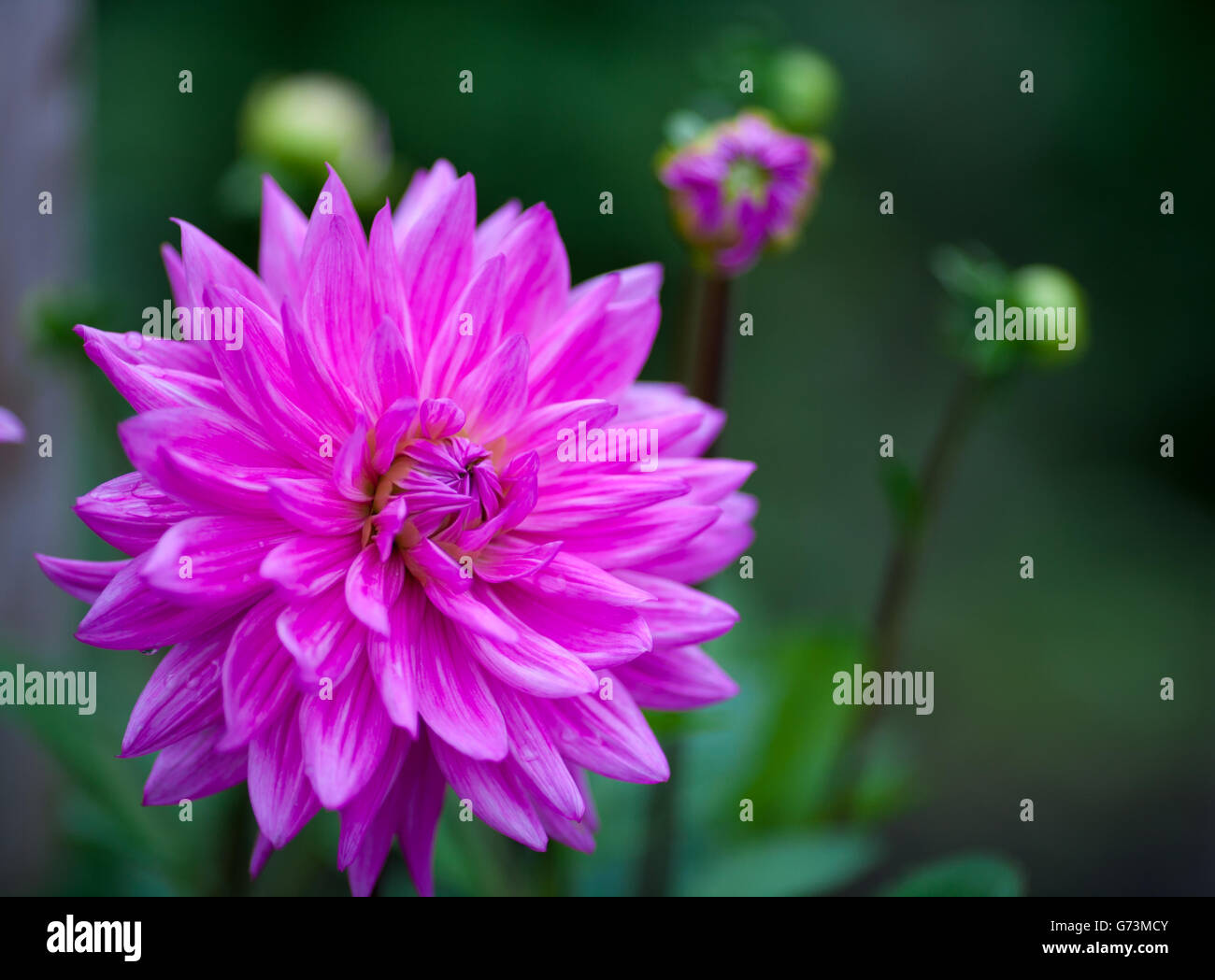 Pink Dahlia flower in full bloom closeup - Stock Image