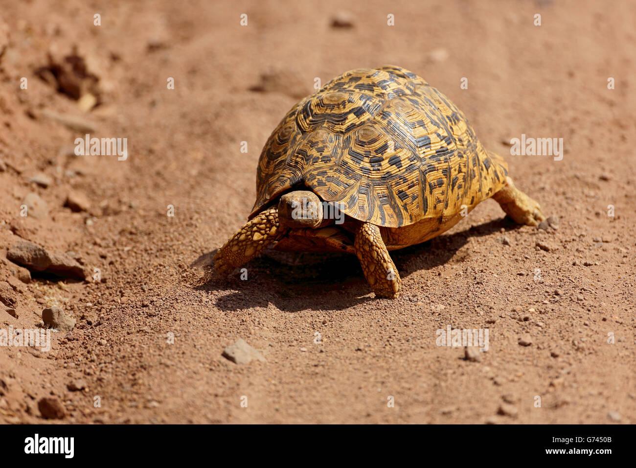 leopard tortoise, Lake Manyara NP, Tanzania, Africa (Testudo pardalis) - Stock Image
