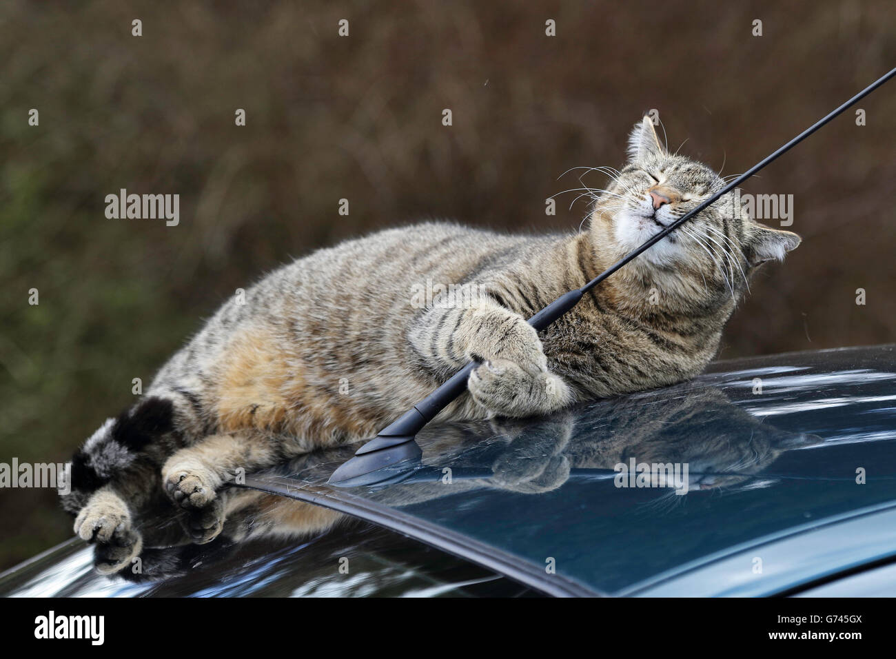Domestic Cat on car roof, Germany - Stock Image