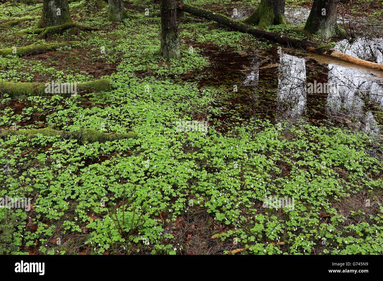 Waldsauerklee (Oxalis acetosella) Adlerfarn, Bannwald, Schutzwald, Waldschutzgebiet, Pfrunger-Burgweiler Ried, Baden Stock Photo