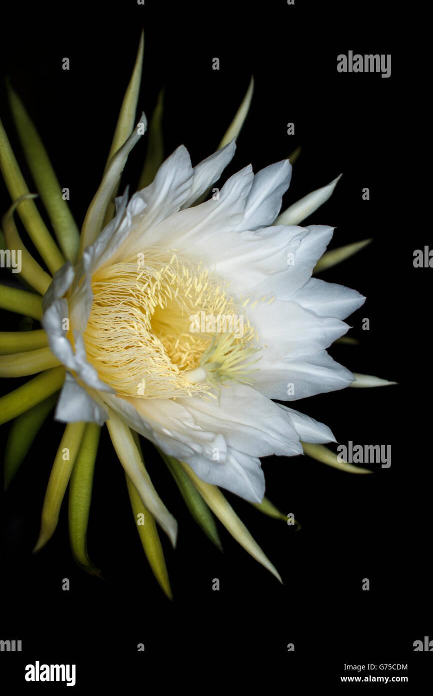 Hylocereus undatus white exotic cactus flower dragon fruit flower hylocereus undatus white exotic cactus flower dragon fruit flower night bloom botanical fine art photography mightylinksfo
