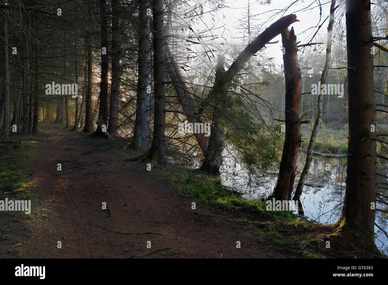 Waldweg, Bannwald, Schutzwald, Waldschutzgebiet, Moorsee, Pfrunger-Burgweiler Ried, Baden-Wuerttemberg, Deutschland Stock Photo