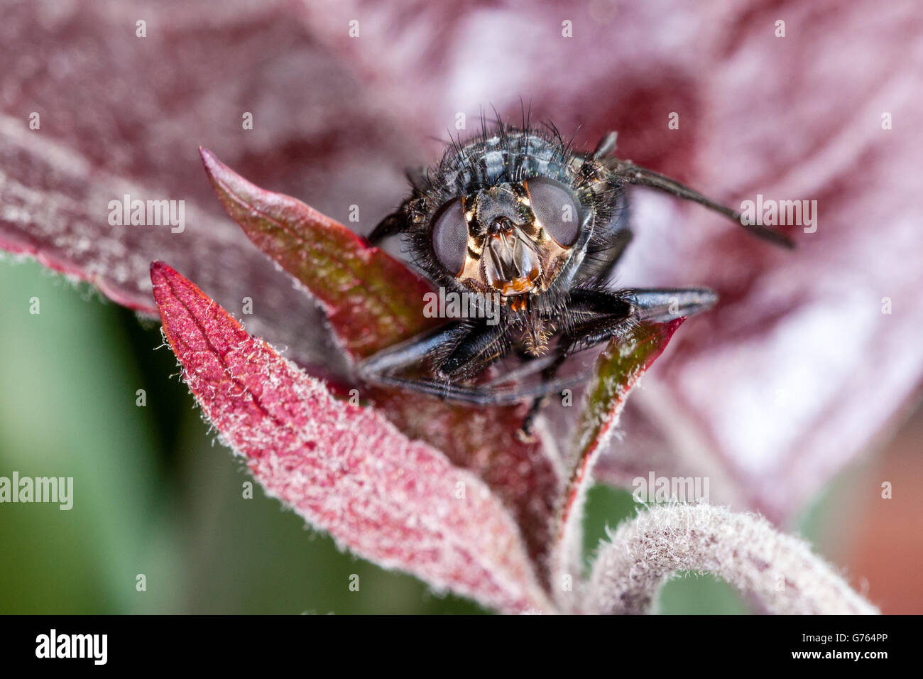 Blue Bottle Fly Features