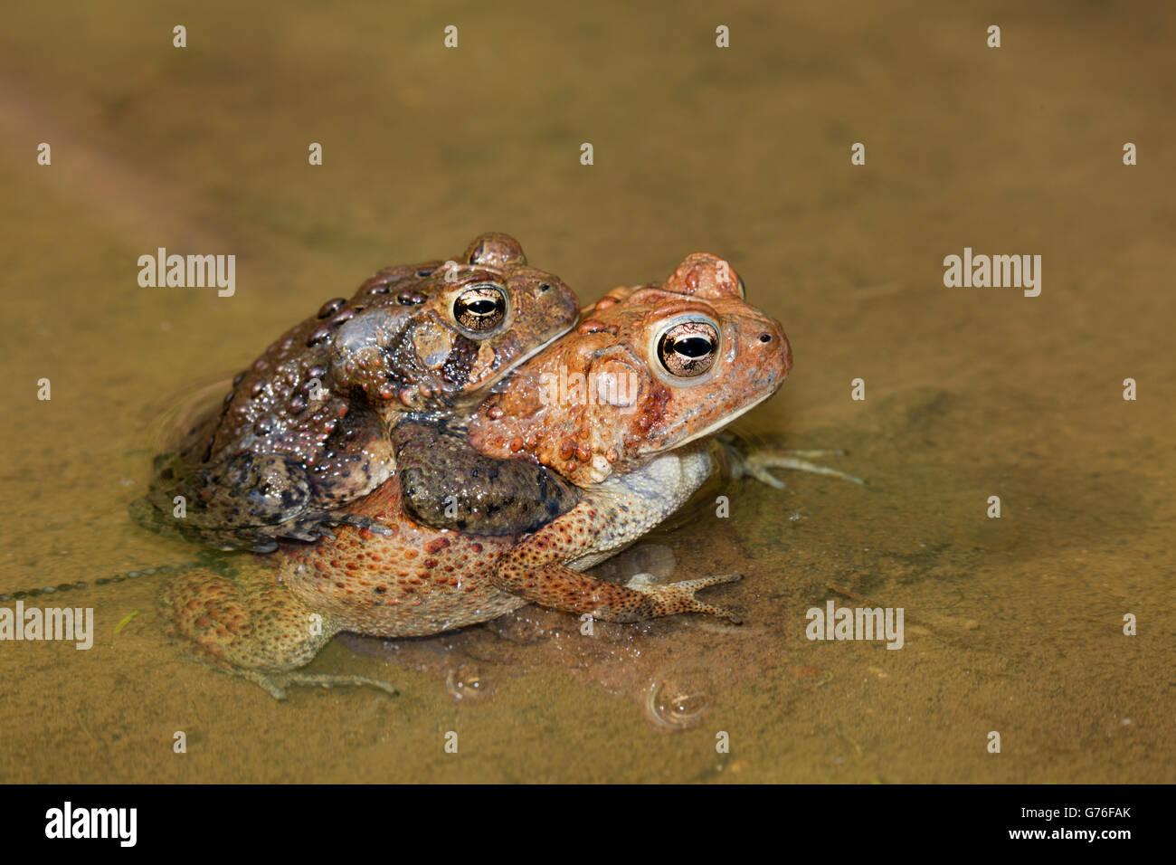 American toads, Bufo americanus, (Anaxyrus americanus), Maryland, Pair laying eggs - Stock Image