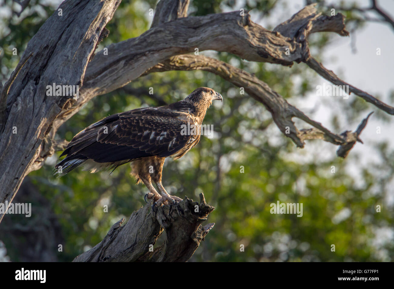 Martial eagle in Kruger national park, South Africa ; Specie Polemaetus bellicosus family of Accipitridae - Stock Image