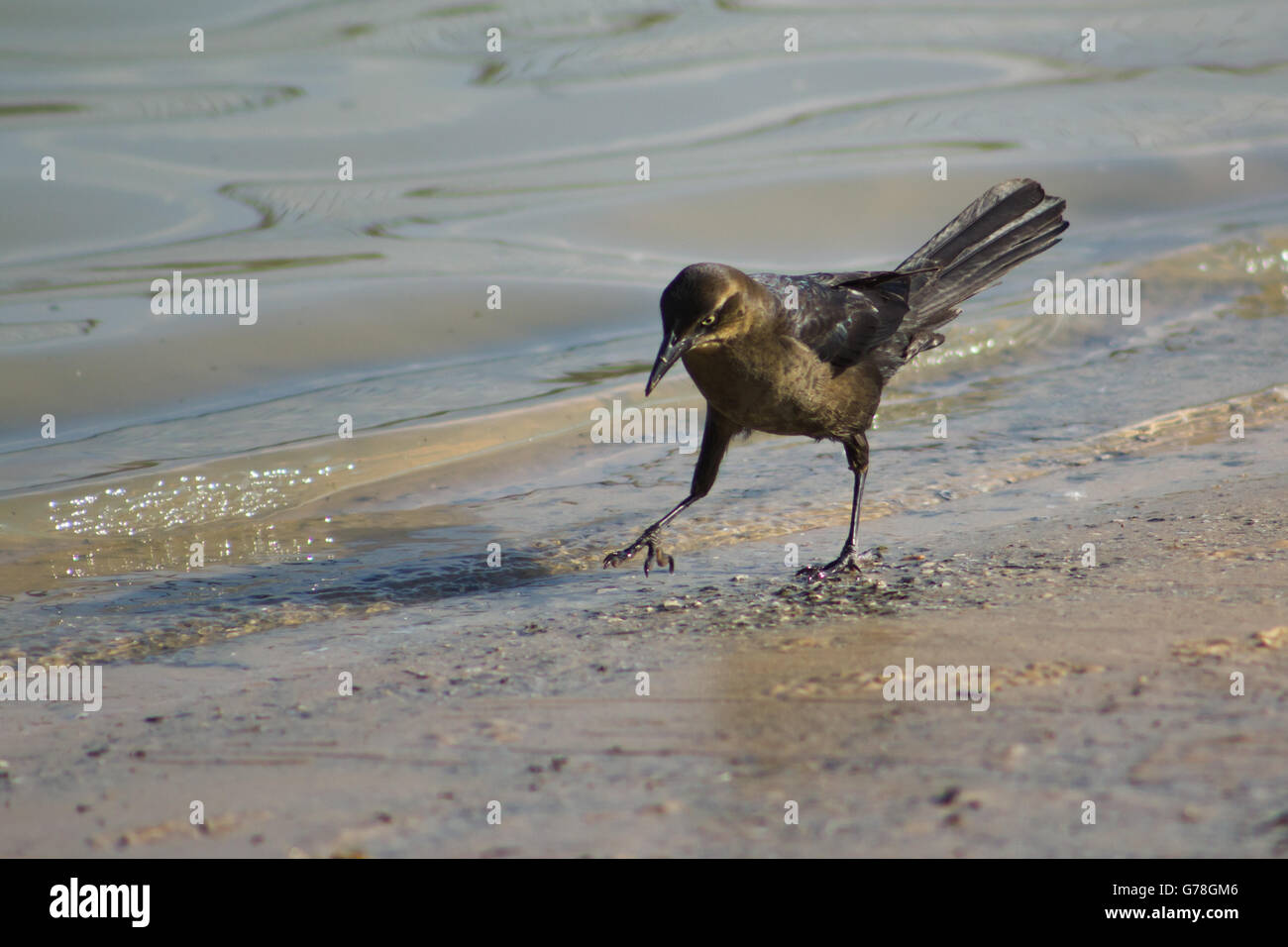 Black bird, a grackle, walking along the shore of a retention pond - Stock Image