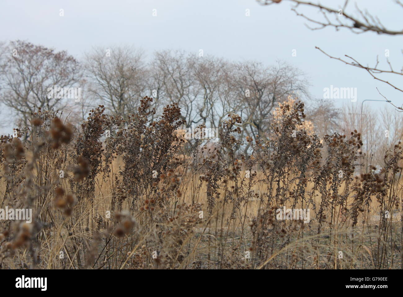 Dead plants in the Burnham Nature Sanctuary in Kenwood, Chicago, IL, USA - Stock Image