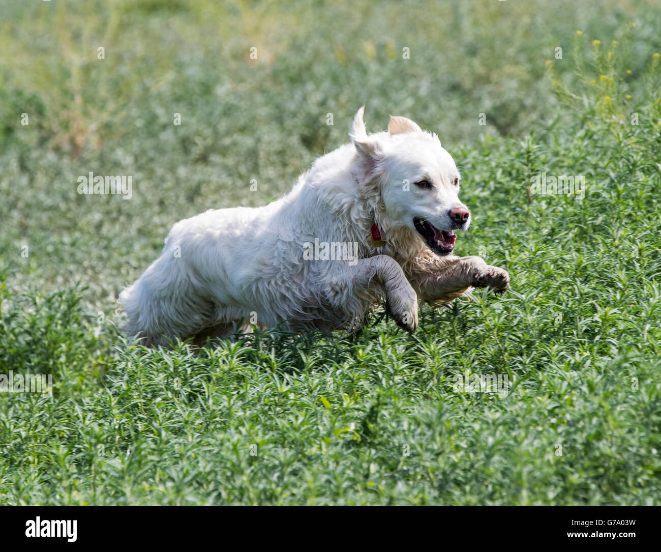 Platinum colored Golden Retriever dog running on a Colorado Ranch; USA - Stock Image