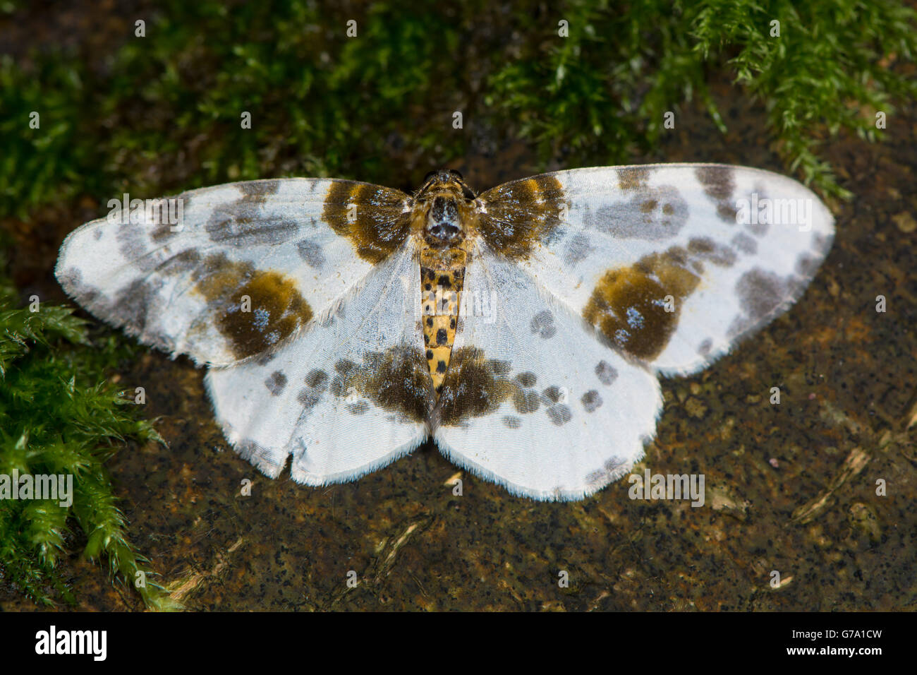 Clouded magpie moth (Abraxas sylvata), in the family Geometridae, the geometer moths, associated with elm (Ulmus - Stock Image