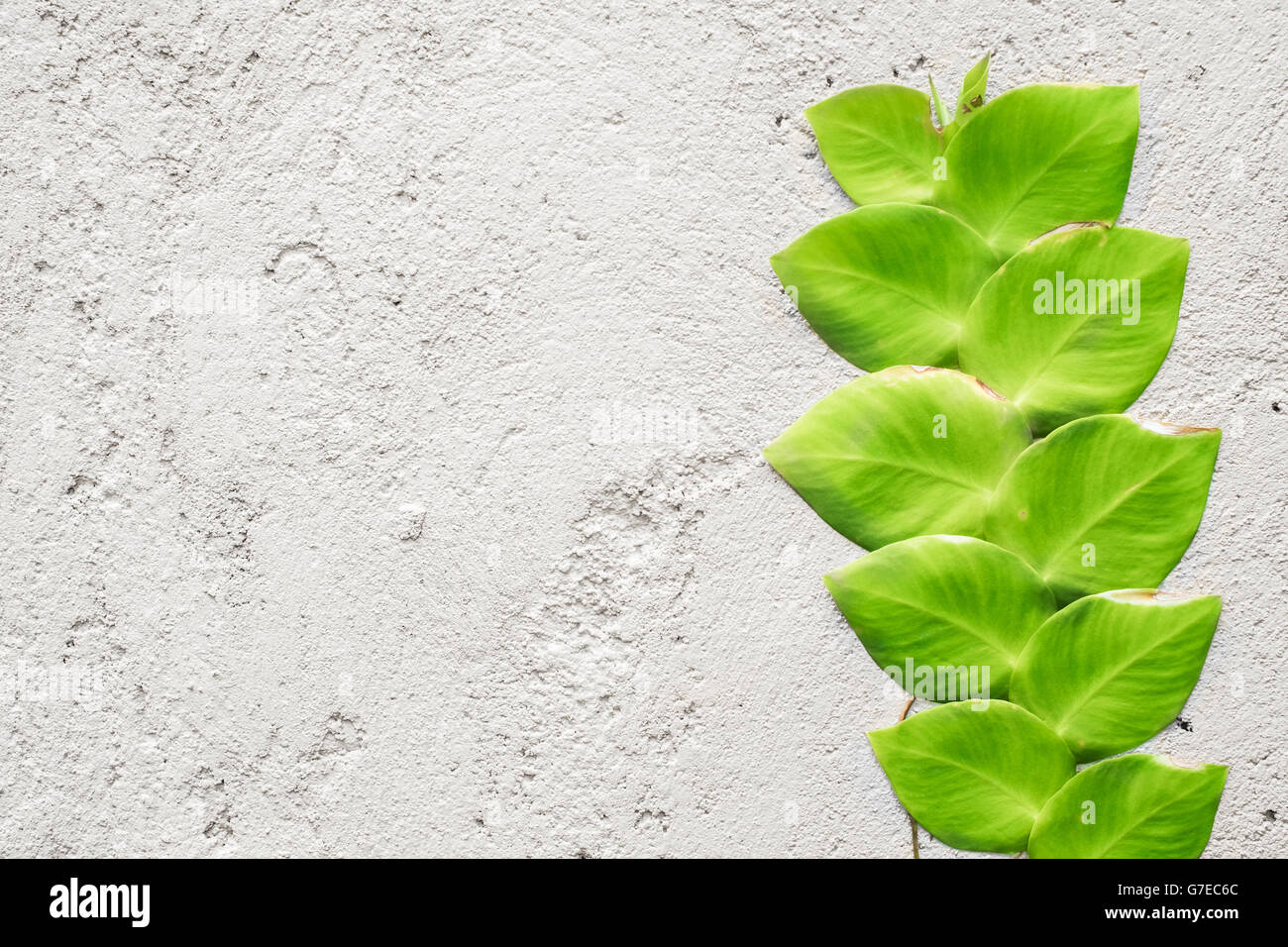 Climbing Ficus Pumila Vine On White Wall Stock Photo