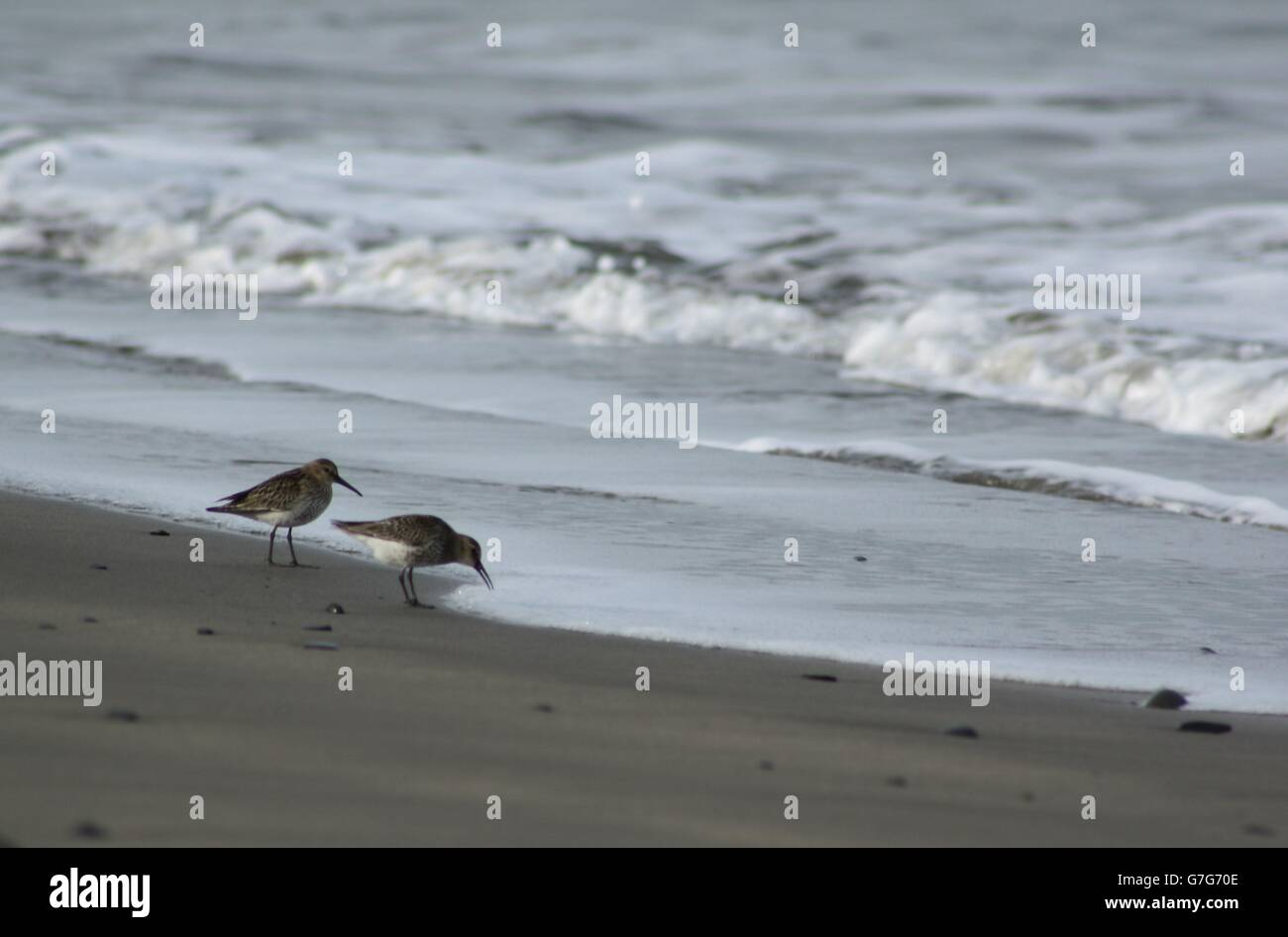 Sandpipers on Shore Line - Stock Image