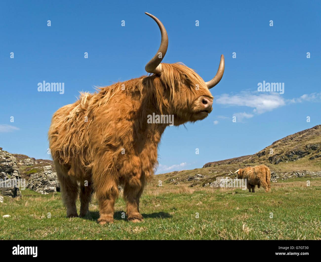 Scottish Highland cow, Isle of Colonsay, Scotland, UK. - Stock Image