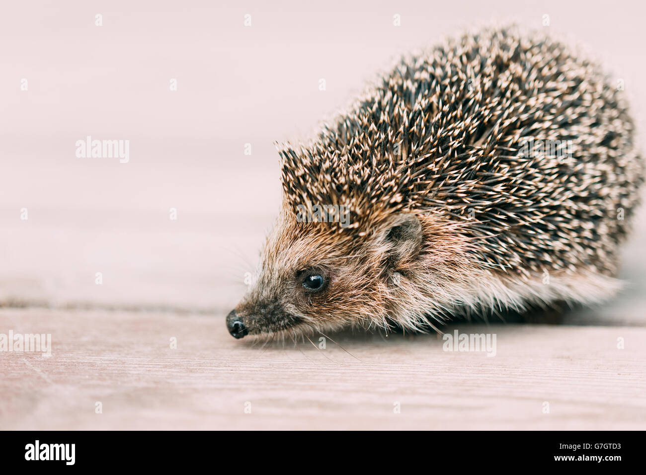 Small Cute Funny Lovely Hedgehog Standing On Wooden Floor - Stock Image