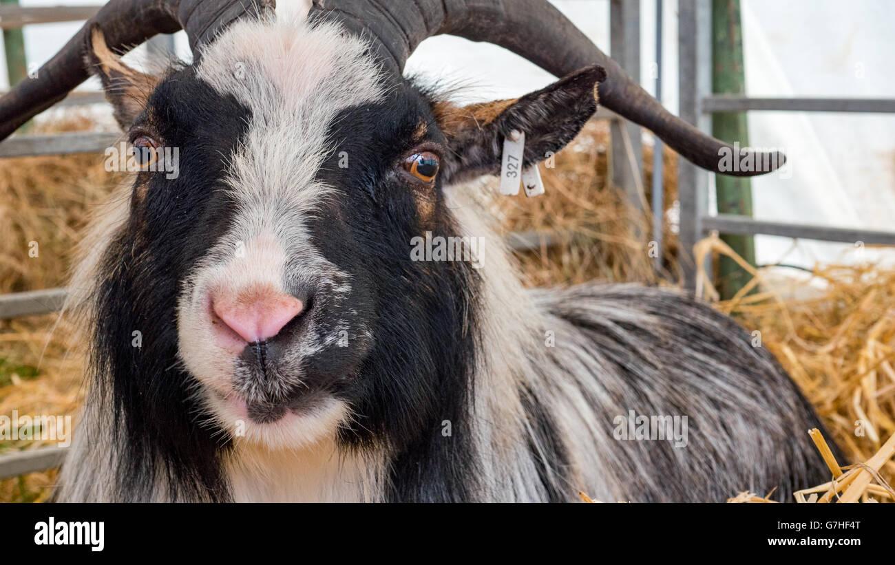 black and white Pygmy Goat - Stock Image