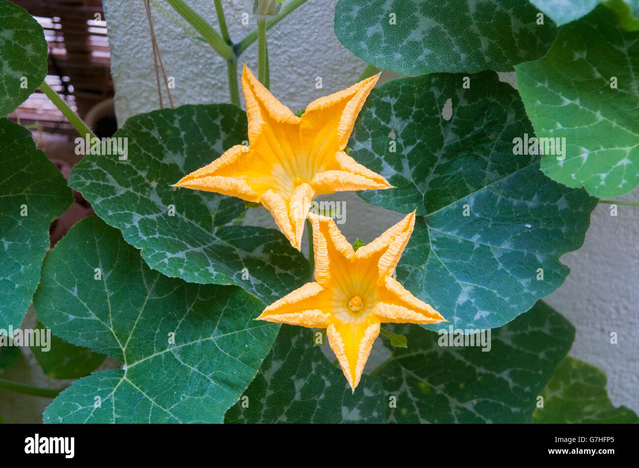 Large yellow flowers stock photos large yellow flowers stock pumpkin plant with large yellow flowers grows in a garden stock image mightylinksfo