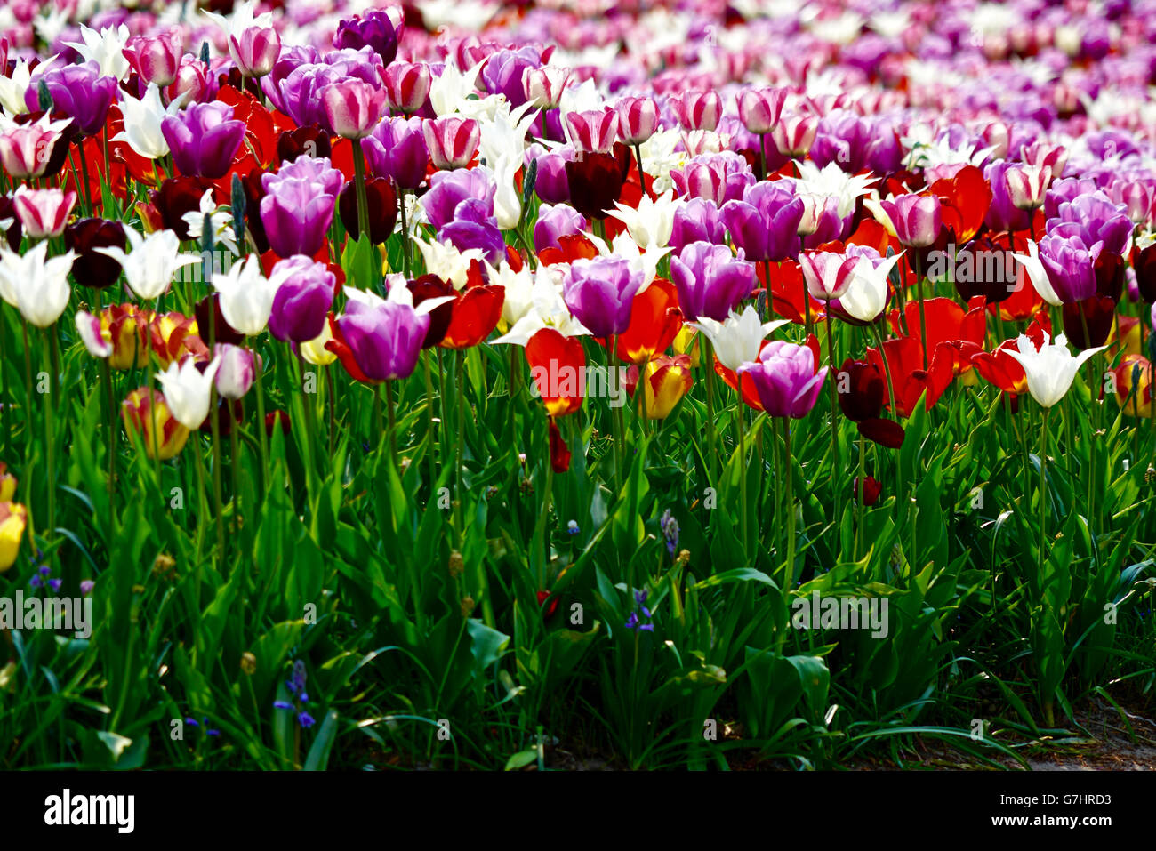 meadow with white, yellow, red and purple tulips - Stock Image