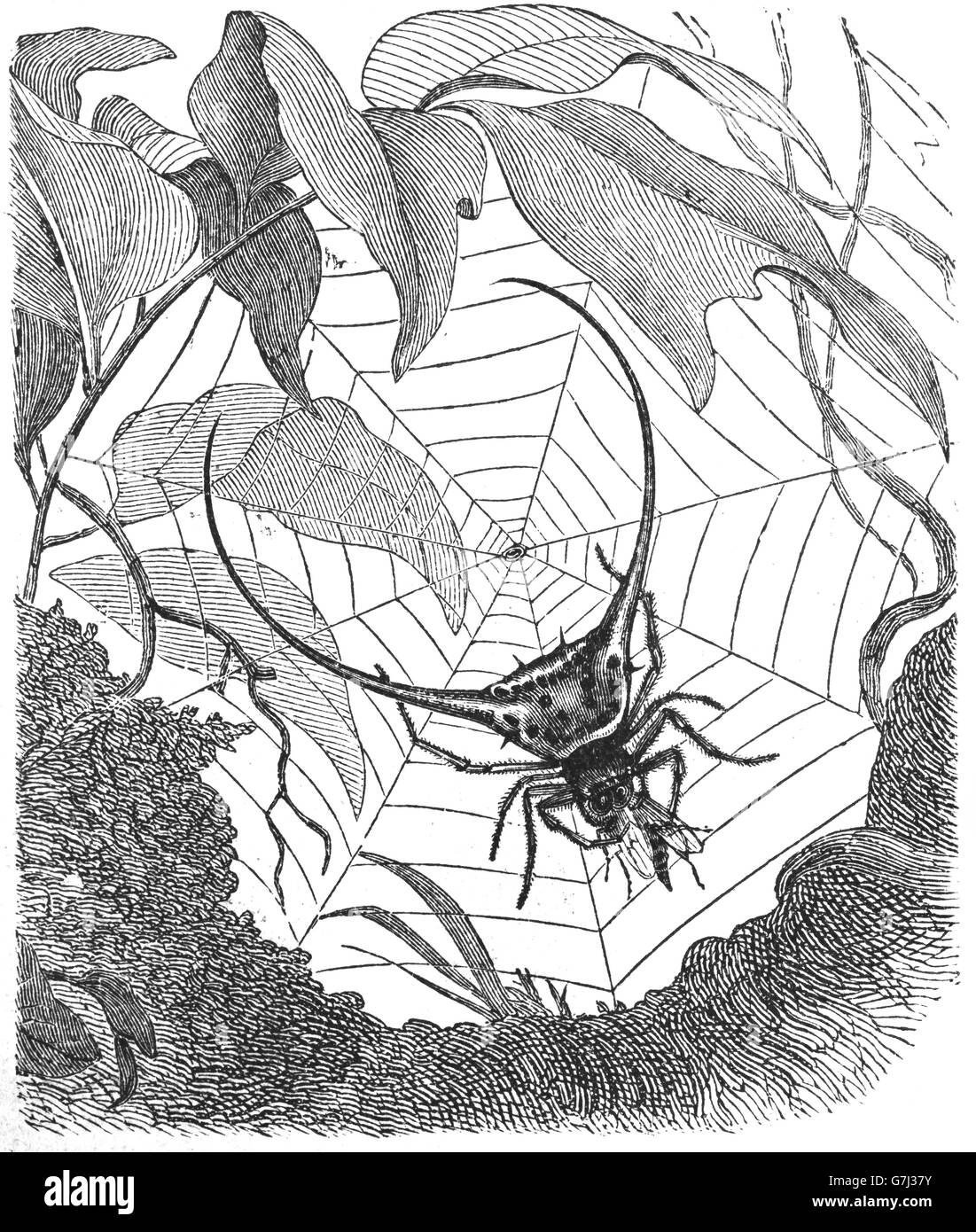 Gasteracantha arcuata, Curved spiny spider, Gasteracantha, illustration from book dated 1904 - Stock Image