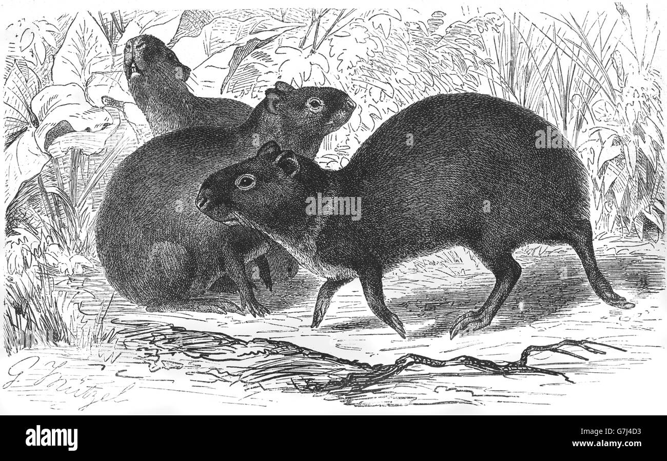 Crested agouti, Dasyprocta cristata, illustration from book dated 1904 - Stock Image