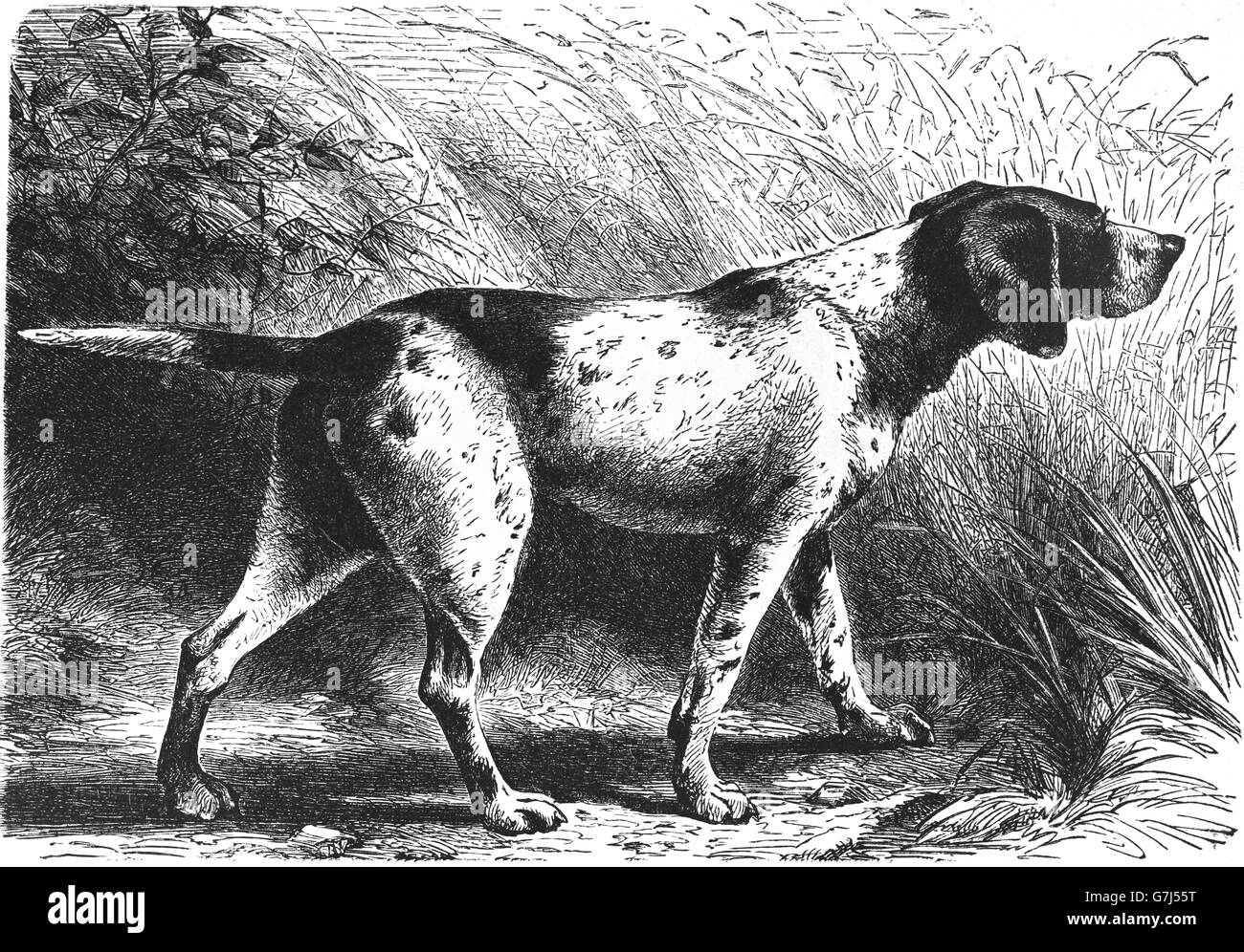 German Shorthaired Pointer, Kurzhaar dog breed, illustration from book dated 1904 - Stock Image