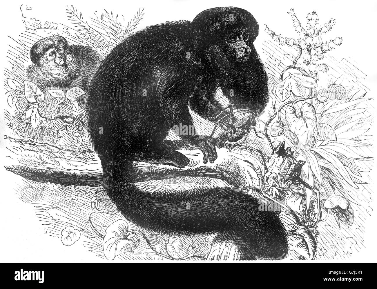 Black bearded saki, Chiropotes satanas, New World monkey, Pitheciidae, illustration from book dated 1904 - Stock Image