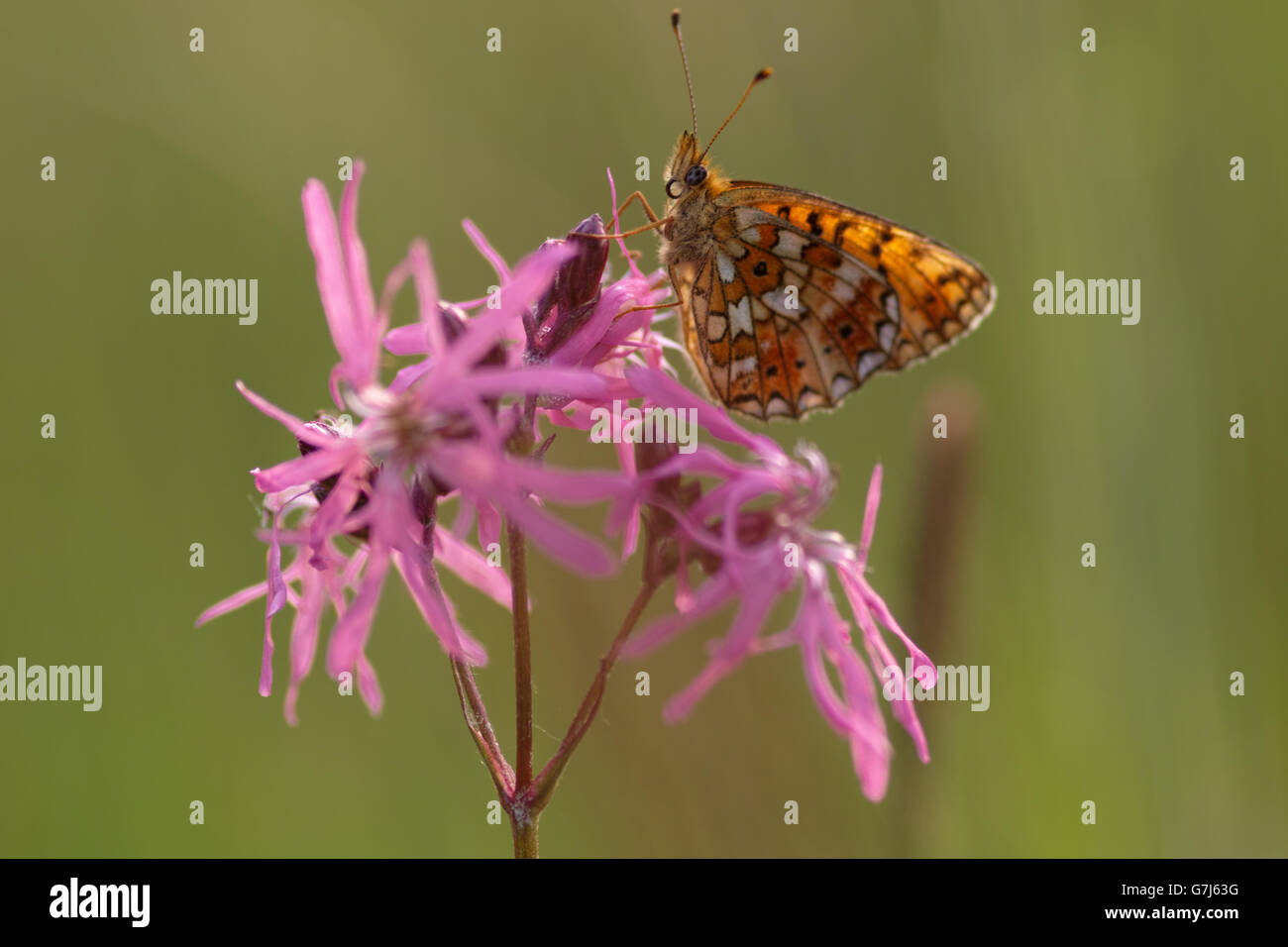 Cranberry Fritillary  Perlmutterfalter - Stock Image