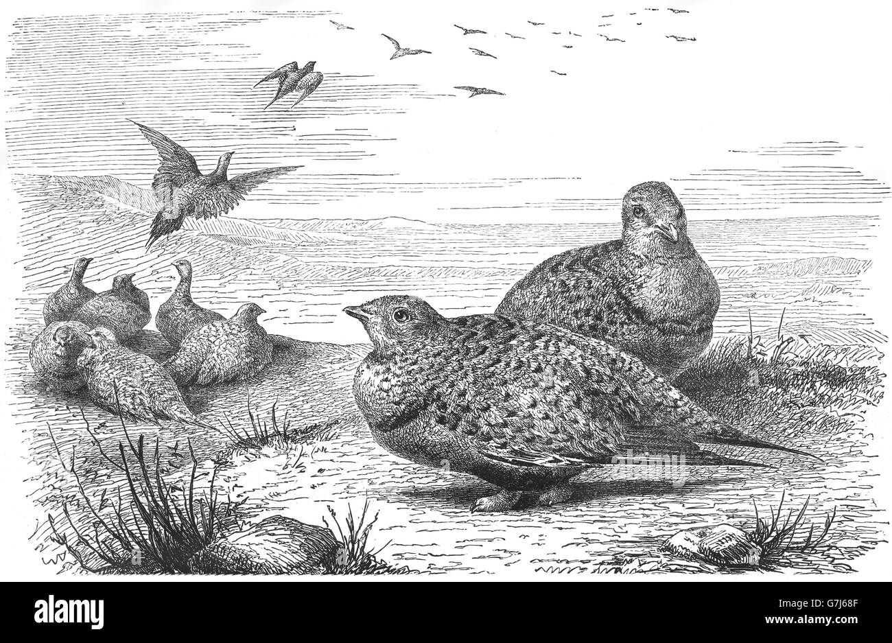 Pallas's sandgrouse, Syrrhaptes paradoxus, illustration from book dated 1904 - Stock Image