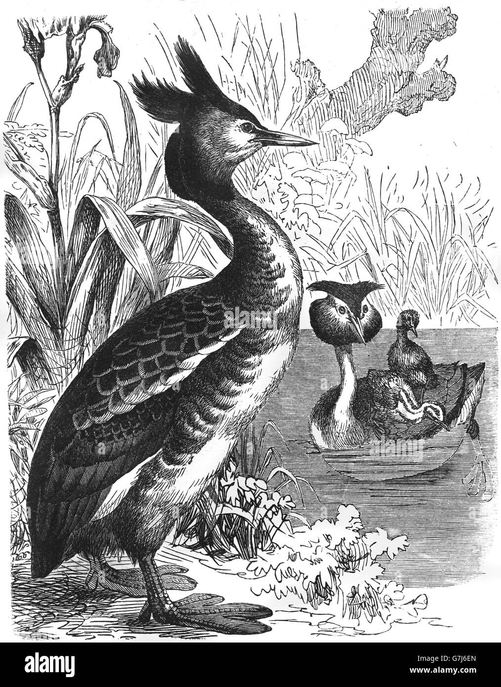 Great crested grebe, Podiceps cristatus, illustration from book dated 1904 - Stock Image